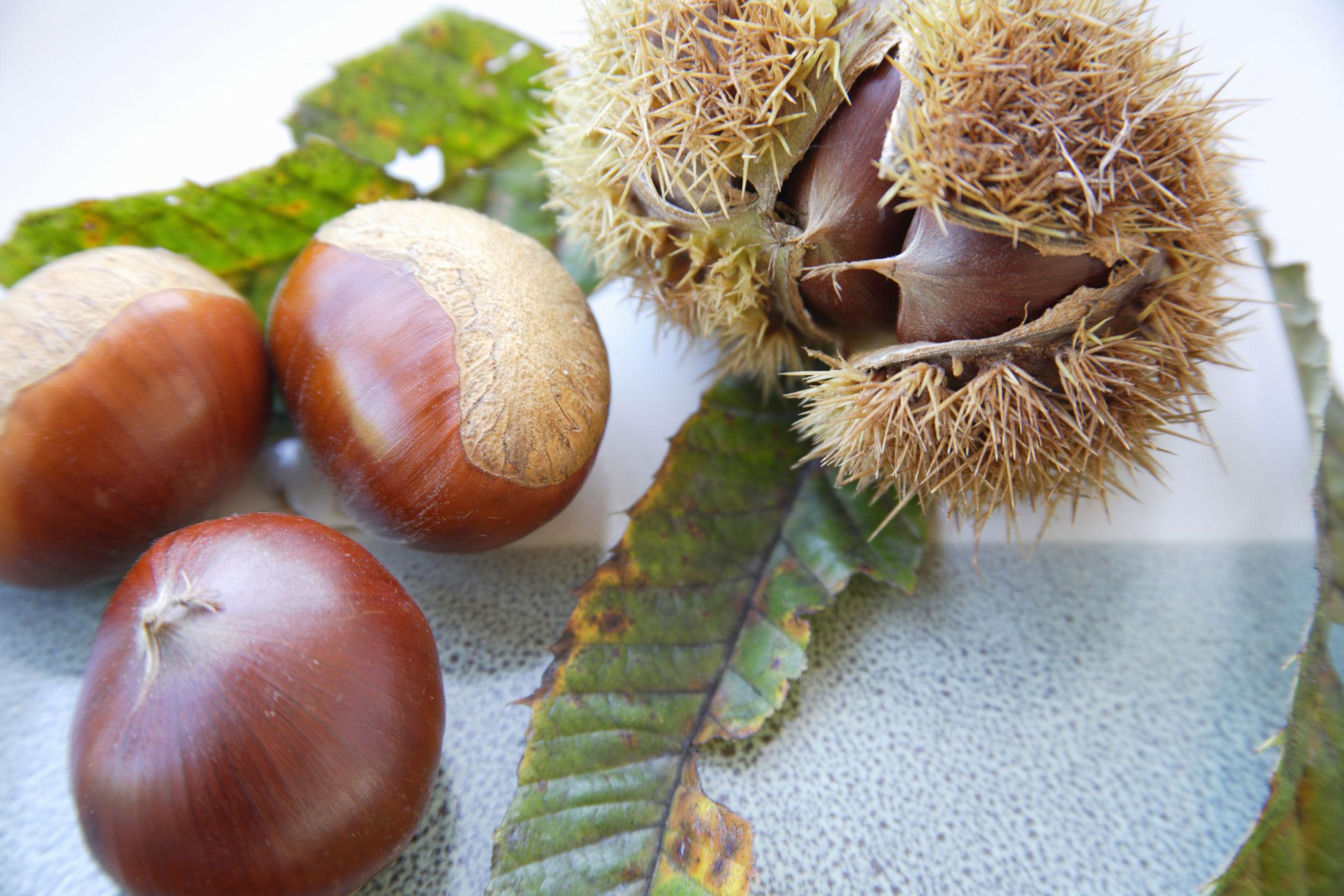 40491741 - chestnut
