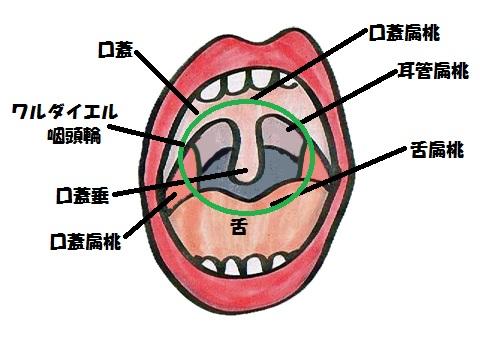 咽頭扁桃は口腔と鼻腔の裏門を取り囲むように配列されており、これら4つをワルダイエル喉頭輪といいます。