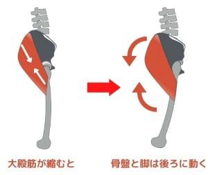 脚を後ろに蹴る時に太ももの骨は背中側に移動しますが、大殿筋が収縮することで同時に骨盤も後ろにやや倒れます。