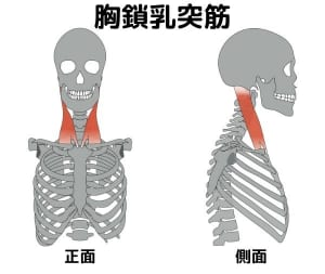 スマホ首で硬くなる筋肉