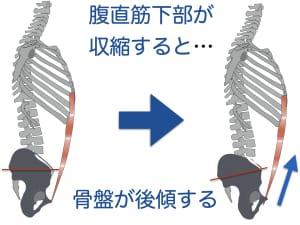 腹直筋下部を鍛えるためには、腹直筋下部がどんな働きをしているのかがわかると理解できます。腹直筋下部は骨盤下部にくっついており、腹直筋下部が収縮することで骨盤が引っ張られ後傾します