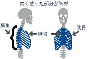 胸郭とは、背骨の中間にある「胸椎」と胸の真ん中にある平らな骨の「胸骨」、胸椎から胸骨までをカゴのように囲んでいる「肋骨」の3つのことを指します
