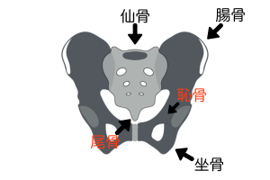 骨盤は「仙骨」「腸骨」「坐骨」「恥骨」「尾骨」から構成されています。これらの骨は靭帯等で強力に固定されているため、なんらかの強い衝撃が加わらないかぎりズレることはありません