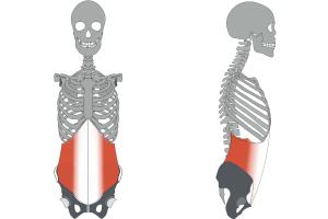 肋骨を締める「腹横筋」