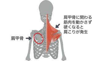 肩甲骨周りの筋肉をまとめて動かす