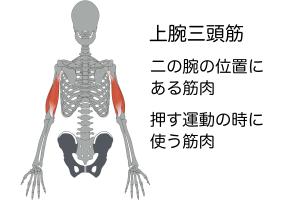 二の腕の筋肉は「上腕三頭筋」といって、押す動作で使われる筋肉です