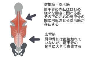 内転をする時は、背中のなかでも大きな筋肉である「広背筋」や「僧帽筋」、その下にある「菱形筋」などを使います。これらは日常生活ではあまり使わない筋肉のため、意識してこの部位を動かすことで鍛えることができます