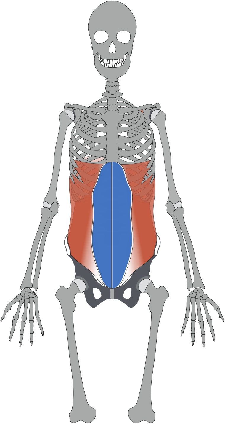 下っ腹の部分にある筋肉は、「腹直筋」という筋肉です。この青い部分の筋肉が衰えてくると、お腹がポッコリと出やすくなります。