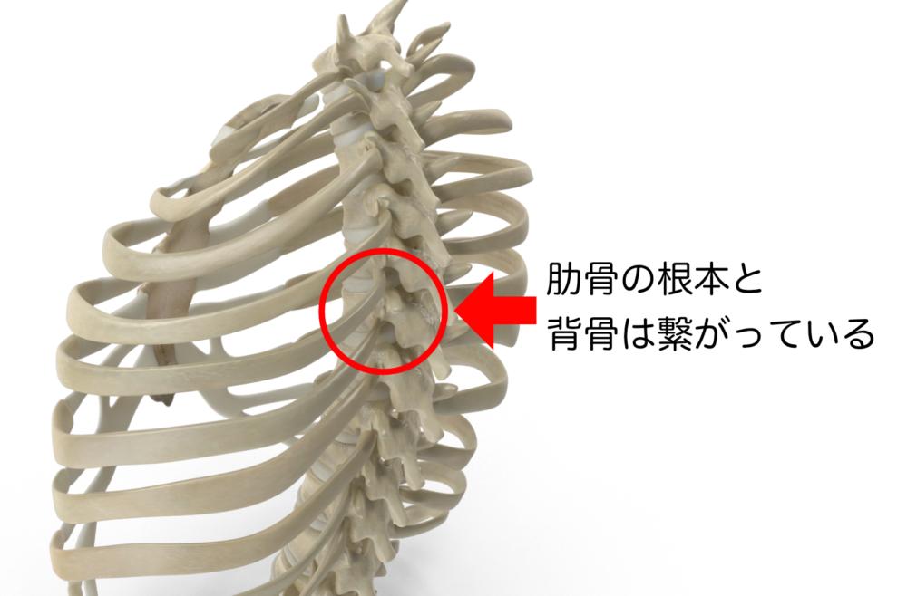 この背骨が過剰に後ろ側に反ることで肋骨が広がると、くびれはなくなってしまいます